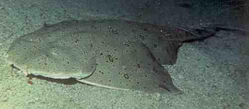 カスザメの分類について