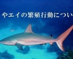 サメやエイの繁殖行動について