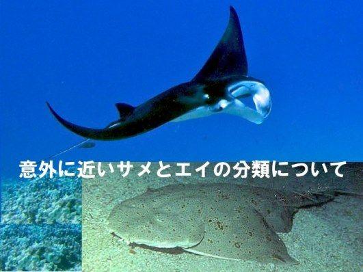 意外に近いサメとエイの分類について